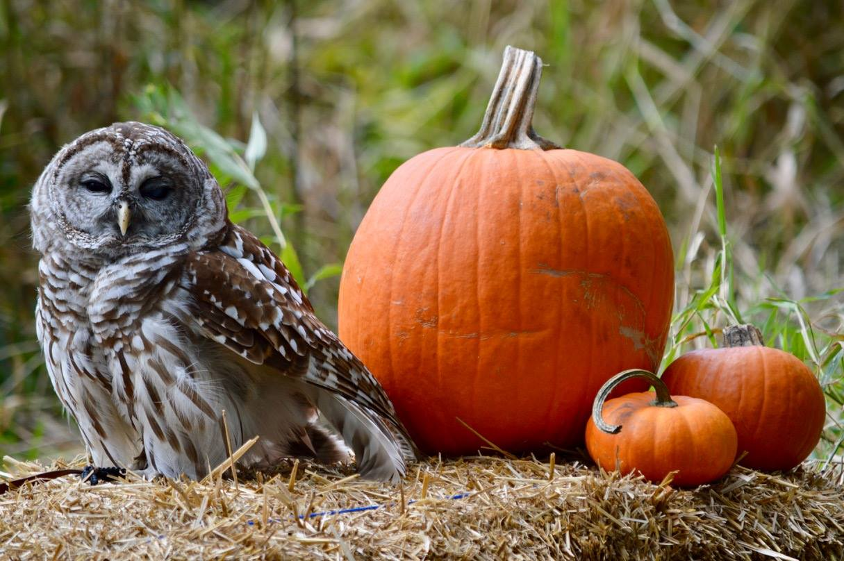 Barred Owl pic by Adrianna