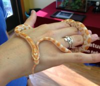 Small Orange Corn Snake Wrapped Around a Woman's Hand