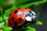 Close up of a Red Lady Bug on a Green Leaf